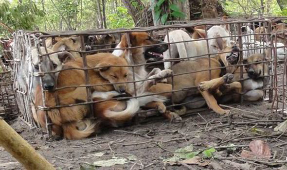 Съедобных собак начали выращивать и реализовывать