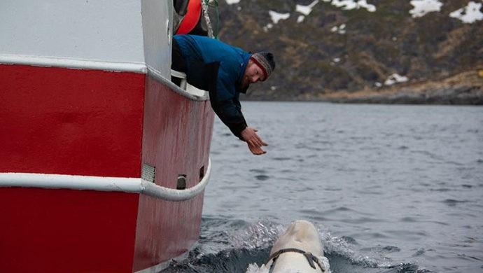 рыбаки обнаружили кита белуху с видеокамерой GoPro